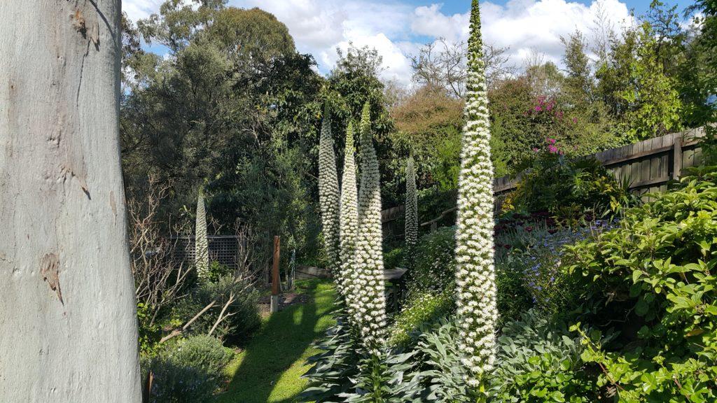 Backyard Echiums